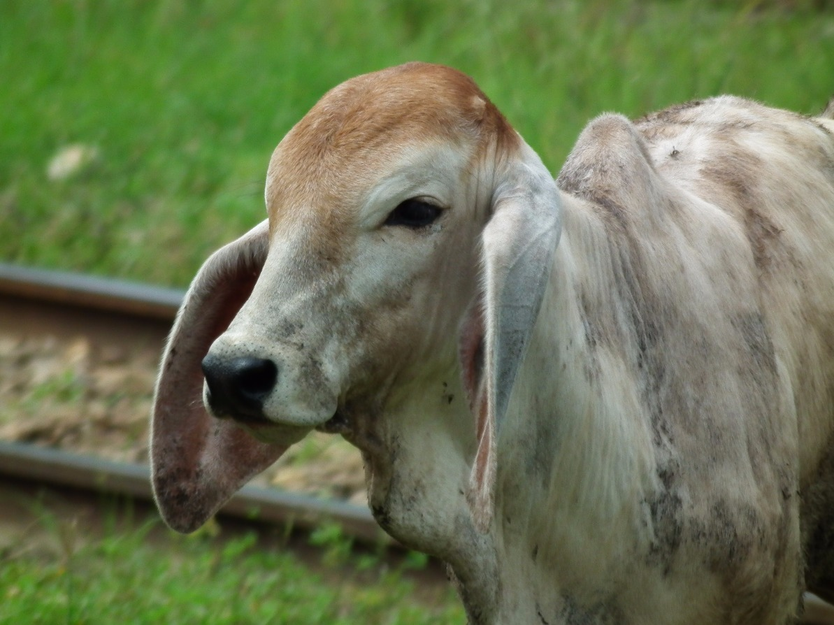 Long Eared Cow | Eyesshare